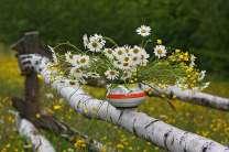 Белые ромашки на березе