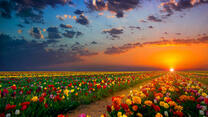 Поле голландских тюльпанов на рассвете